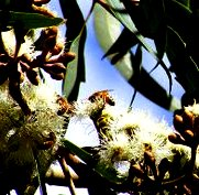 flowering_gum with bees susan walter 3