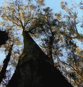 Sutro Forest trees