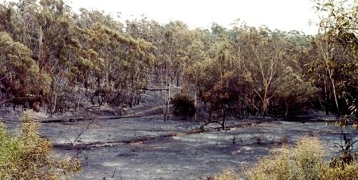 Burning up to the Eucalyptus