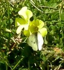 Cabbage White sitting on Oxalis