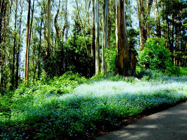 Eucalyptus myths save mount sutro forest for Garden design under gum trees