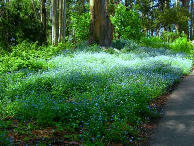 forgetmenots in Sutro Forest
