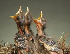 Baby birds (Photo credit www.mi9.com )