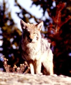 coyote nps