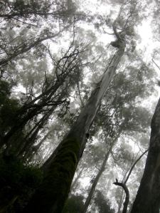 tall trees in mist