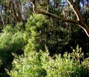 acacia subcanopy 2