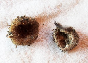 hummingbird nests collected in Sutro Forest