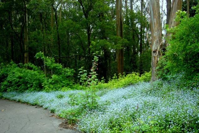 sutro forest forget-me-nots april 2011