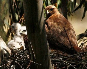 hawk nest by Janet Kessler