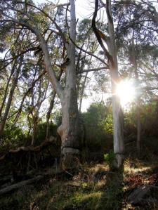 Two girdled trees