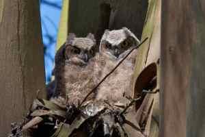 Owlets in an eucalyptus tree nest