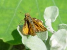 Sandhill Skipper - Franco Folini, Creative Commons