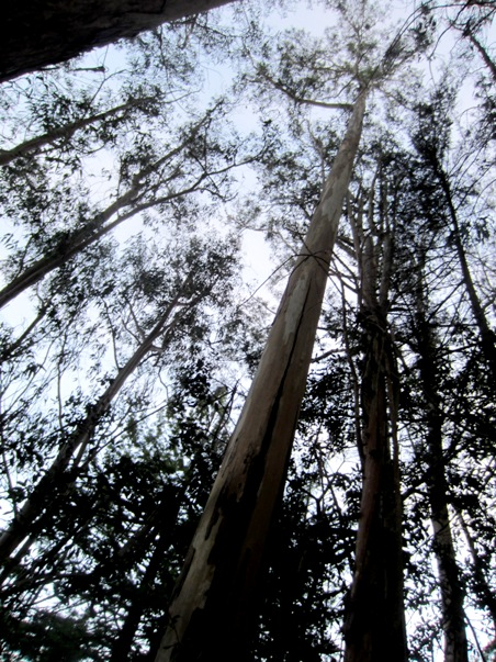 tall eucalyptus in Sutro Forest