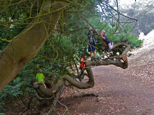 Ancient acacia tree along the ground, with kids climbing it