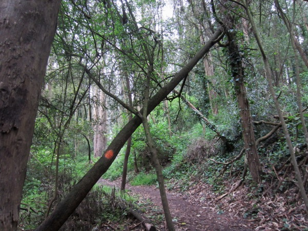 leaning tree orange blob - Mount Sutro Forest