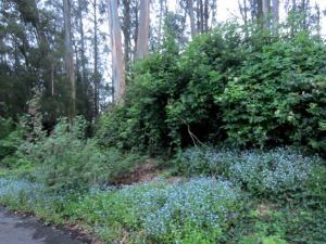 the forget-me-nots are back - Mount Sutro Forest