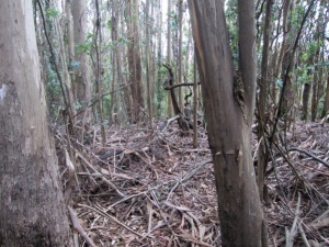 where the understory has been gutted - Mount Sutro Forest