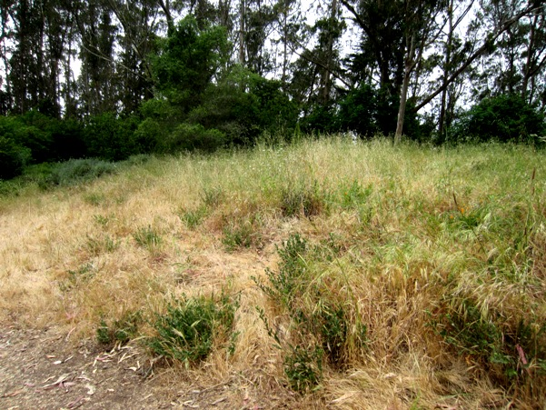 yellowing grass in Mount Sutro's  Native Plant Garden