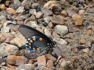 320px-Pipevine_swallowtail_butterfly Devilrose 8 wikimedia commons