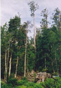 Partially logged forest in Tasmania - Wikimedia Commons, TTaylor
