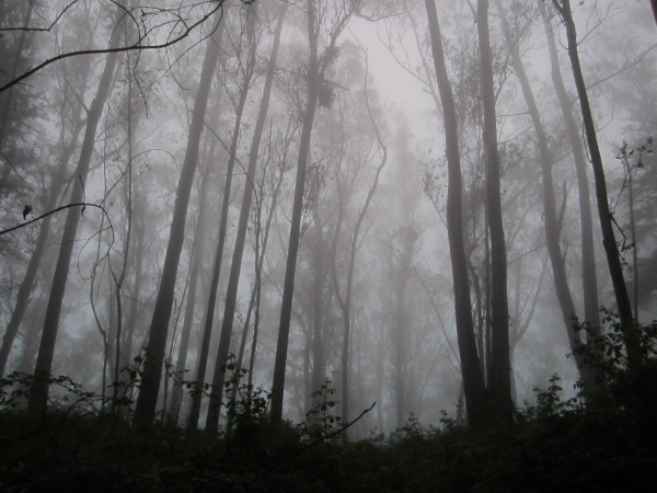 fog in Mt Sutro Cloud Forest sept 2013 -2
