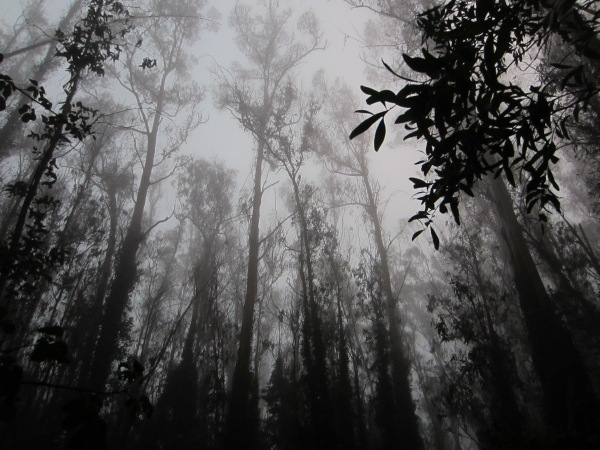 Mt Sutro Cloud Forest evening