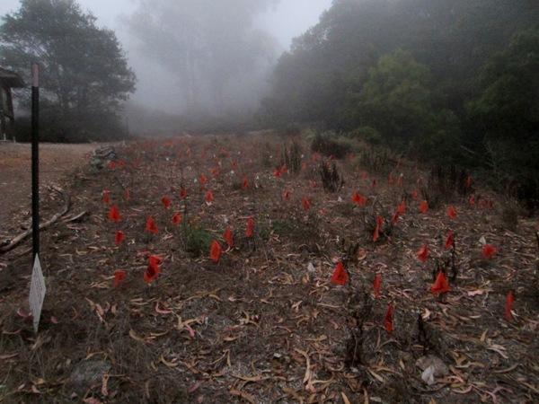 orange flag meadow on Mt Sutro