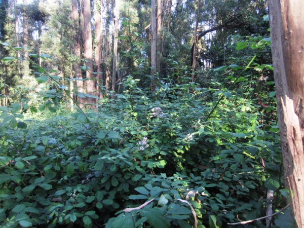 blackberry understory