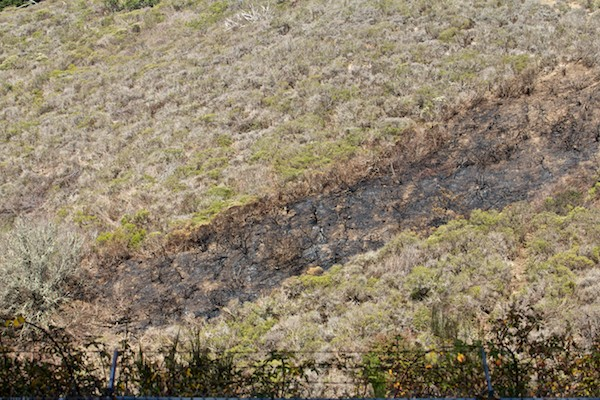 Native Plant fire scorch above Laguna Honda San Francisco 2