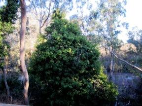 cape ivy