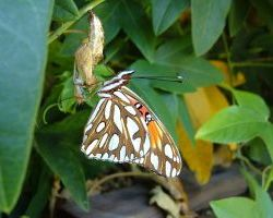 Gulf Fritillary Butterfly emerges on passiflora plant