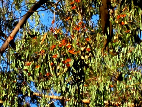 monarch butterflies in eucs
