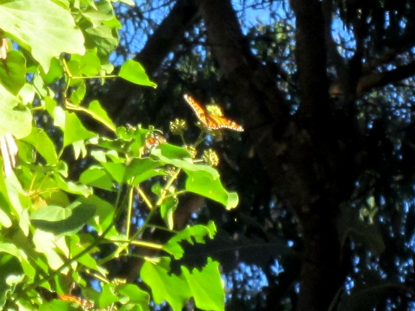 monarch butterfly nectaring on Cape Ivy 2