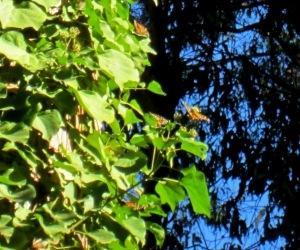 nectaring on ivy
