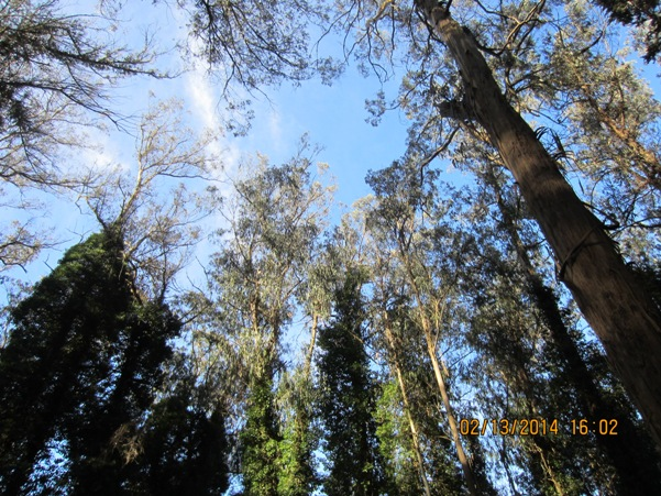 eucalyptus trees in Sutro Forest