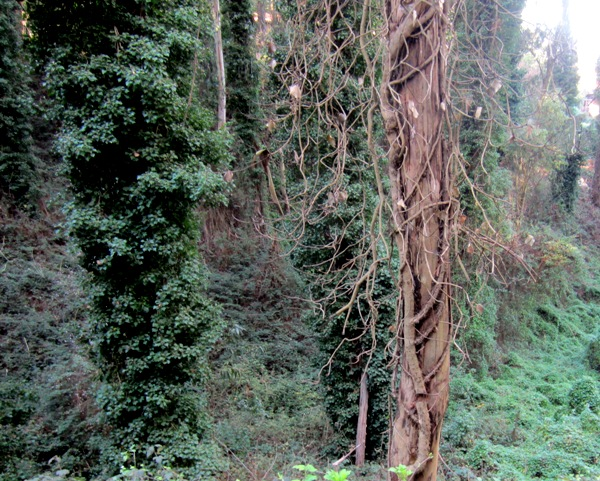 ivy cut on sutro forest tree