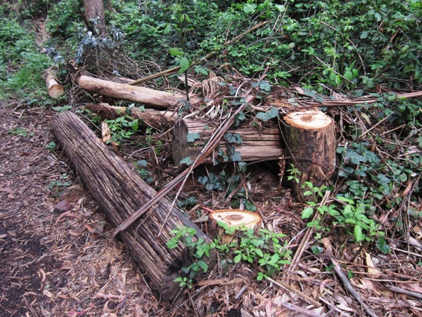 stumps in sutro forest april 2014