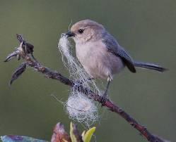 bushtit with nesting material. Copyright Janet Kessler
