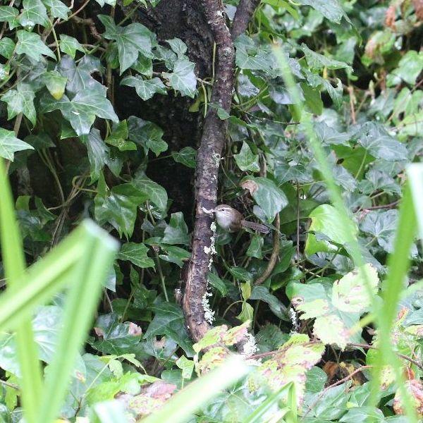 This bewick's wren's nest is hidden. Copyright Janet Kessler
