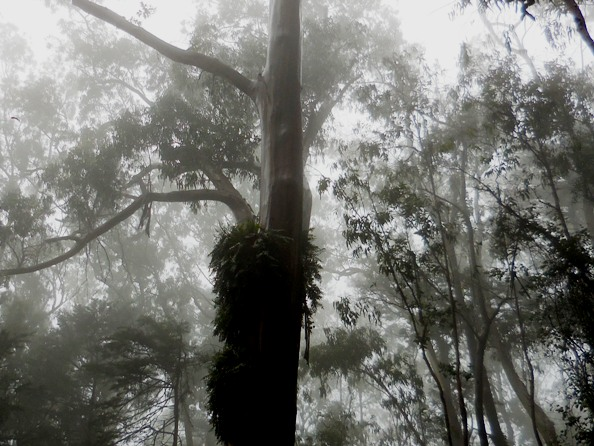 fern epiphytes on eucalyptus in Sutro Cloud Forest