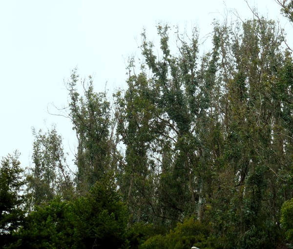gradually recovering defoliated eucalyptus on east ridge of sutro forest