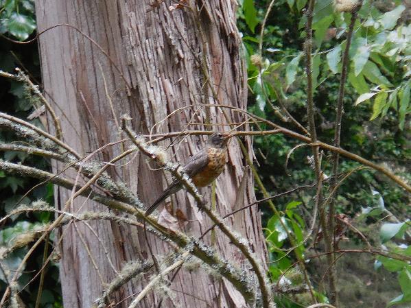 Juvenile American robin - sutro forest
