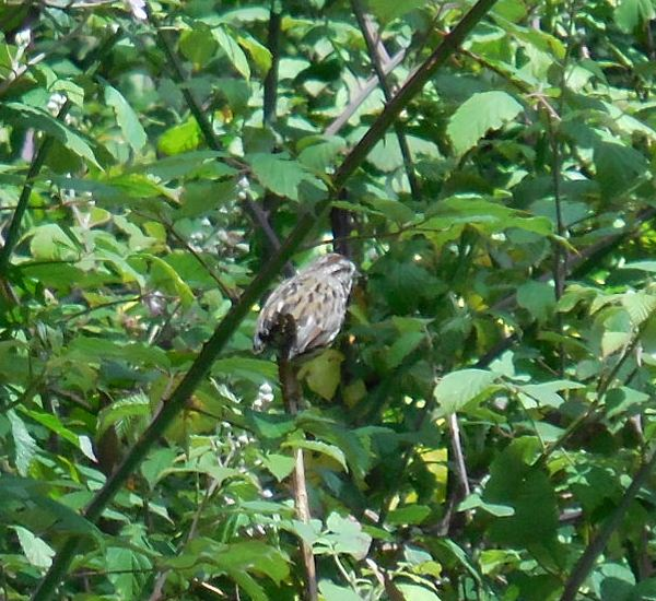 song sparrow - sutro forest
