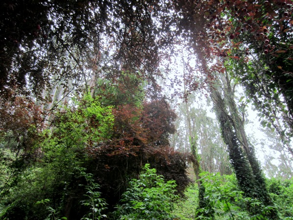 sutro forest below medical center way july 2012 098