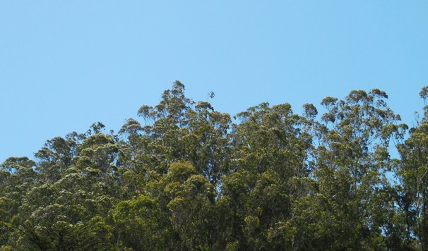sutro forest canopy June 2014 sm