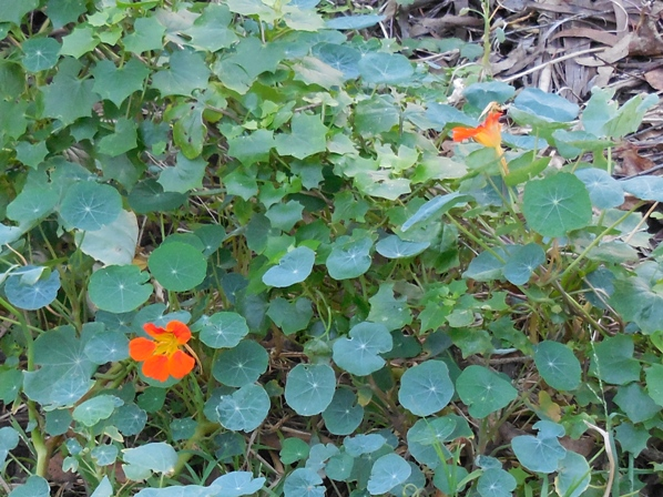 nasturtiums in sutro forest