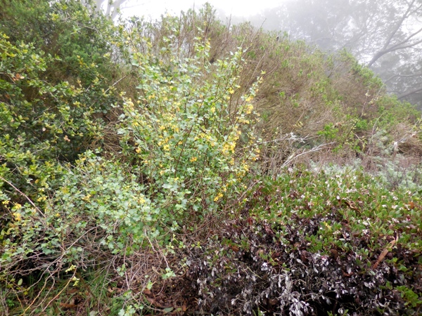 ribes and manzanita in Mt Sutro native plant garden