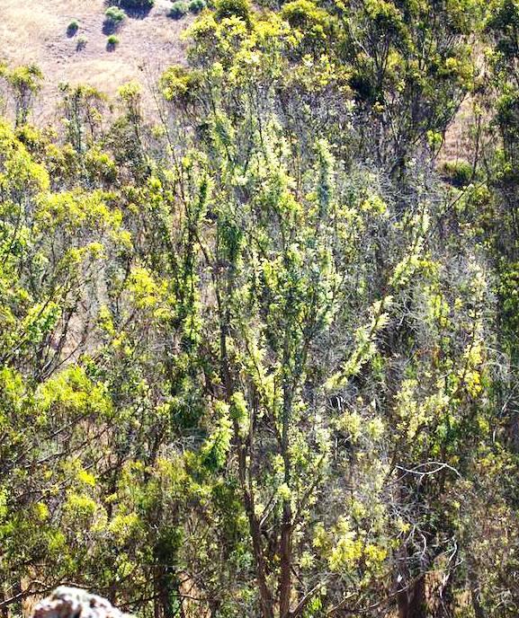 Epicormic sprouting on eucapyptus 2014
