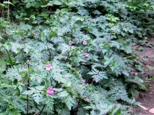 robert geranium