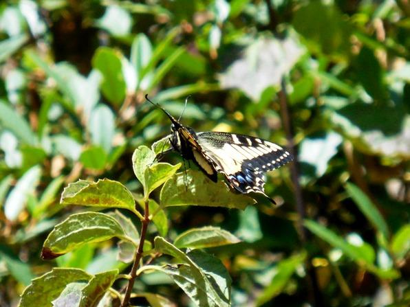 anise swallowtail body